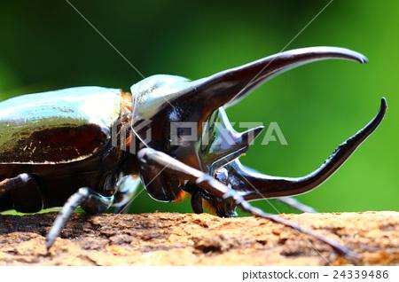 Atlas Beetle 24339486