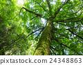 銀杏 大樹 樹木 24348863