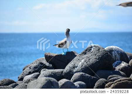 Blue Bobby's backwards in the Galapagos Islands 24359228