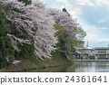 The Cherry-blossoms along Kajo castle moats. 24361641