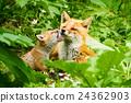 Kita狐狸的父母子女 24362903