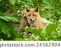 Kita狐狸的父母子女 24362904