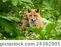 Kita狐狸的父母子女 24362905