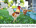domestic, fowl, rooster 24367283