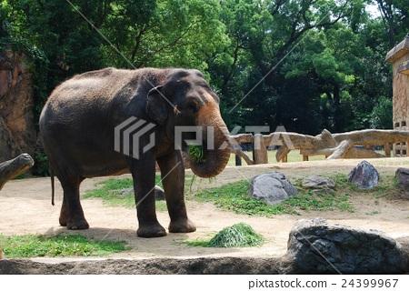 大象吃草 24399967