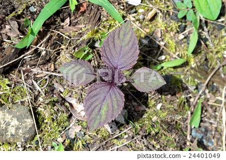 紅紫蘇幼苗的材料(紅參) 24401049