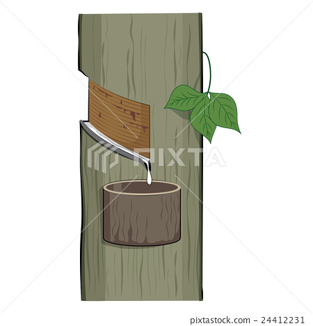 Latex drip from a rubber tree Hevea Brasiliensis 24412231