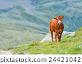 Cow in a pasture in the Swiss Alps 24421042