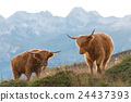 Two highlander - Scottish cow On the Swiss Alps 24437393