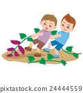 고구마 캐기, 고구마 수확, 고구마 24444559