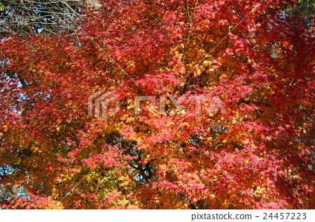 Autumn leaves 24457223