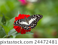 Butterfly on flowers in forest 24472481