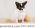 Portrait Papillon puppy age of four months  24515033