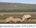white, rhinoceros, wild 24522627