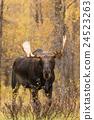 Shiras Bull Moose in Autumn 24523263