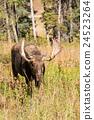 Shiras Bull Moose in Autumn 24523264