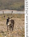 Caribou Bull in Velvet 24523597