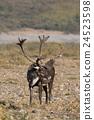 Caribou Bull in Velvet 24523598