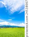 blue sky, summer weather, rice field 24538007
