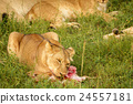 A lion feeds on a freshly killed antelope. 24557181