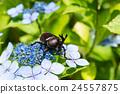 牙買加犀金龜 自然 甲殼蟲 24557875