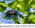 牙買加犀金龜 自然 甲殼蟲 24557876