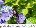 牙買加犀金龜 自然 甲殼蟲 24557877
