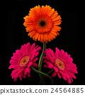 Pink, orange gerbera with stem isolated on black 24564885