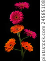 Pink, orange gerbera with stem isolated on black 24585108