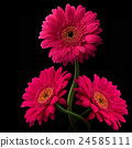 Pink or red gerbera with stem isolated on black 24585111