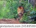 panthera leo, zoorasia, king of beasts 24589589