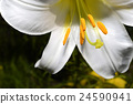 Decorative white lily in the garden closeup 24590941
