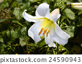 Decorative white lily in the garden closeup 24590943