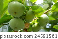 japanese, persimmon, fruit 24591561