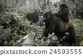 A female mountain gorilla with a baby in Rwanda 24593555