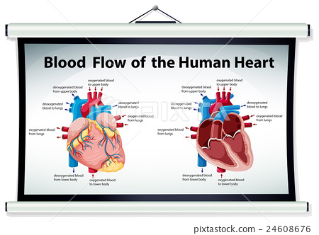 diagram showing blood flow in human heart - stock illustration, Muscles