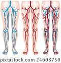 anatomy, human, body 24608750