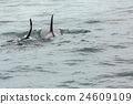 Couple of Killer Whales in Pacific Ocean. Water 24609109