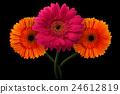 Pink, orange gerbera with stem isolated on black 24612819