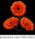 Orange gerbera with stem isolated on black 24612821