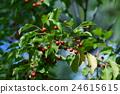 열매, 과실, 과일 24615615