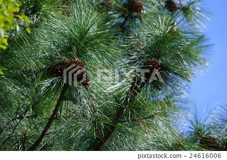 Very big pine cone 24616006