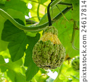 Pumpkin or squash on its tree 24617814