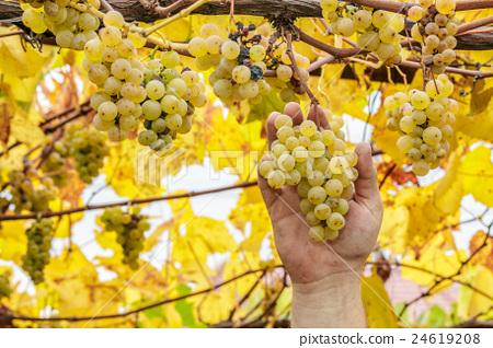 Farmer harvest white grapes 24619208