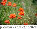 poppy, flower, nature 24622820