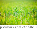 Background of green rice field in outfous 24624613
