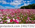 คอสมอส,ดอกไม้,ทุ่งดอกไม้ 24627202