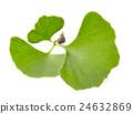 Ginkgo biloba leaves 24632869