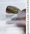中國池龜 烏龜 爬行動物 24633205