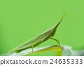 蚱蜢 蝗蟲 較小的長頭蝗蟲 24635333